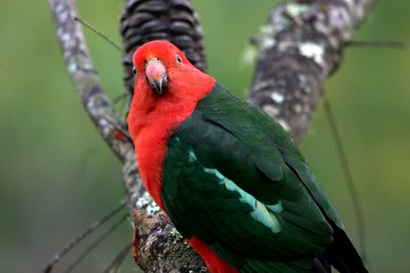 Photo of an Australian King Parrot