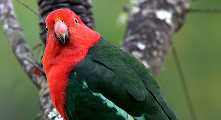 Photo of Australian parrot by John Manger, courtsey of CSIRO