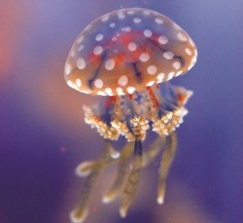 Photo of a jellyfish from the Vancouver Aquarium
